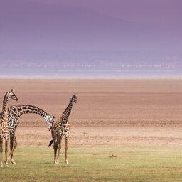 Tanzania-Lake Manyara-Giraf
