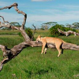 Tanzania-Lake Manyara-Leeuw in boom
