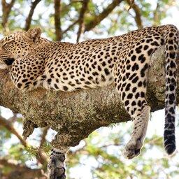 Tanzania-Lake Manyara-luipaard in boom