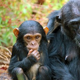Tanzania-Mahale-Mountains-Mbali-Mbali-Mahale-Lodge-chimpansee