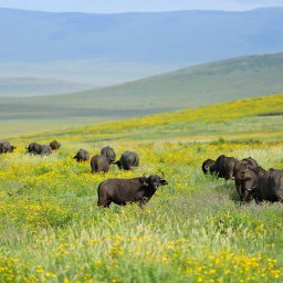 Tanzania-Ngorongo-The-Highlands-buffels-veld