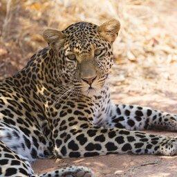 Tanzania-Ruaha NP-luipaard