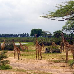 Tanzania-Selous-Giraf