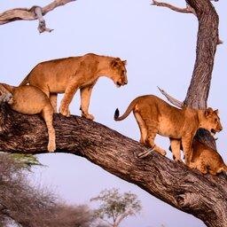 Tanzania-Selous-leeuwen