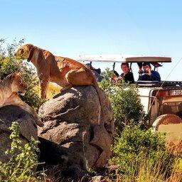 Tanzania-Serengeti-leeuwen