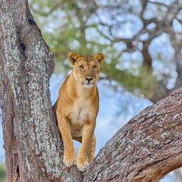 Tanzania-Tarangire NP-leeuw in boom