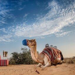 VAE-Ras Al Khaimah-Ritz Carlton Al Wadi Desert-kamelenrit