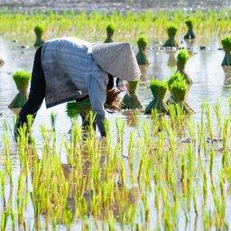Vietnam-algmeen-rijst plukken