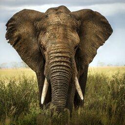 Zuid-Afrika-algemeen-olifant