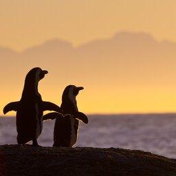 Zuid-Afrika-algemeen-pinguins