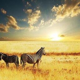 Zuid-Afrika-algemeen-zebras