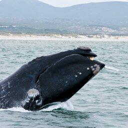 Zuid-Afrika-Hermanus-hoogtepunt-walvis1