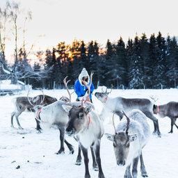 Zweden-Lapland-Harads-Loggers-Lodge-excursie-rendieren